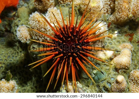 Live specimen of a reef urchin, Echinometra viridis, underwater in the Caribbean sea, Panama - stock photo