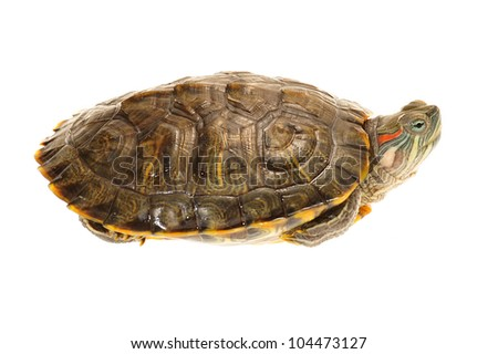 Live Terrapin Isolated On White Background