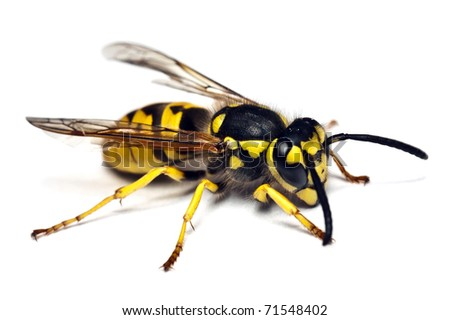 Live wasp isolated on white background - stock photo