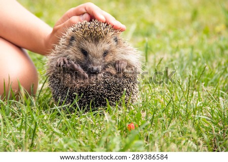 lively little hedgehog in the children's hands in a meadow - stock photo