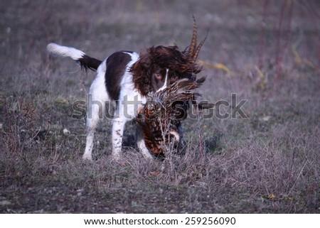 liver and white working type english springer spaniel pet gundog retrieving a pheasant - stock photo