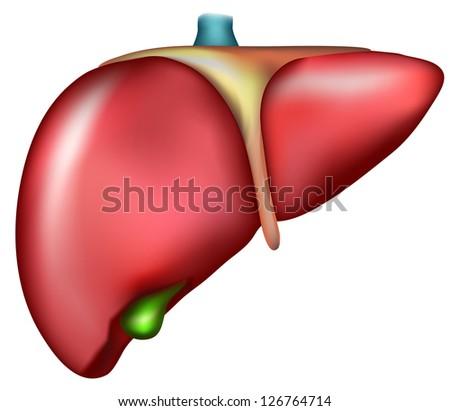 Liver. Detailed illustration of human internal organ- liver. Illustration shows liver right lobe and left lobe, gallbladder, ligament and vein. - stock photo