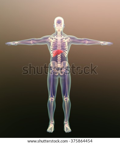 liver in a human male, showing the liver on the models of human models, position liver in the human body, human skeleton and liver, Male anatomy liver positioning - stock photo