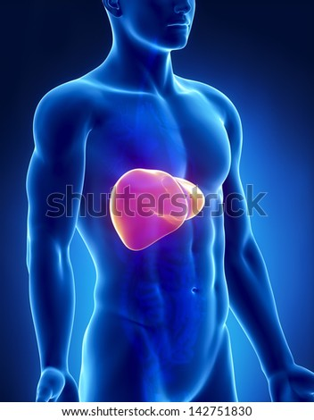 Liver male anatomy anterior x-ray view - stock photo