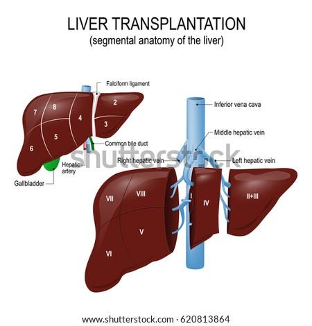 Segmental anatomy of the liver