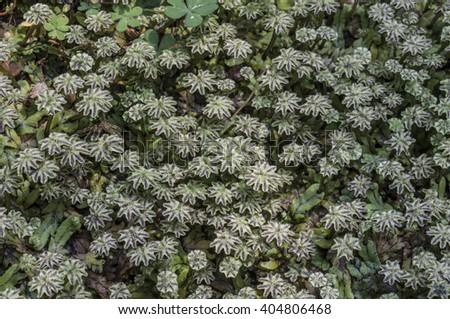 liverwort - stock photo
