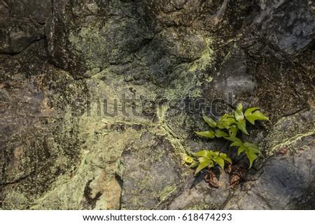 Liverwort And Leaves On Rocks In A Garden In Nagoya, Central Japan