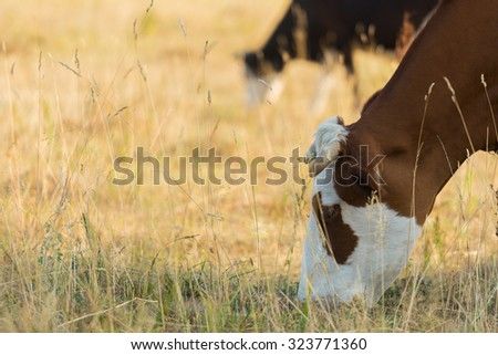 Livestock in the pasture. Photo of cows in the field. Photo for farmers and Natural magazines and websites. - stock photo