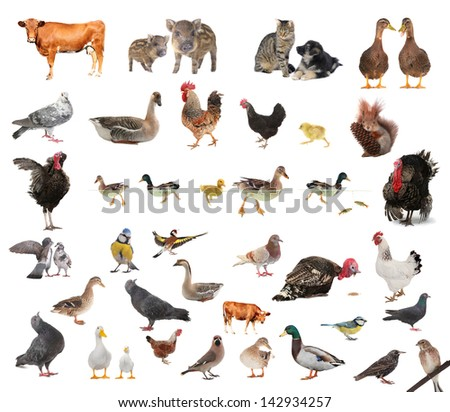 livestock  on a white background