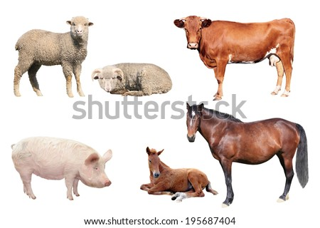 livestock on a white background - stock photo