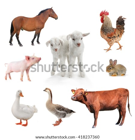 livestock on a white background.  - stock photo