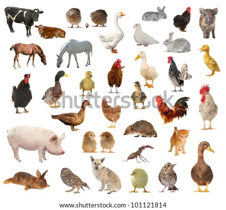 livestock on a white background on white background - stock photo