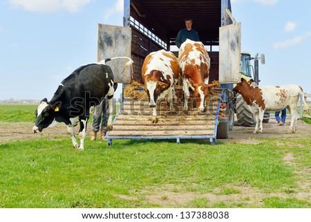 livestock transport of cows - stock photo