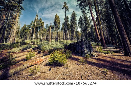 Living and Dead in the Grove, Mariposa Grove, Yosemite National Park, California - stock photo