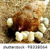 living hen chick rearing in the natural - stock photo