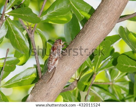 living large brown insect making loud noise, tropical Cicada Platypleura, singing insect on a green small leaves bush plant: Terminalia ivorensis Chev., on a sunny day, picture taken with flash - stock photo