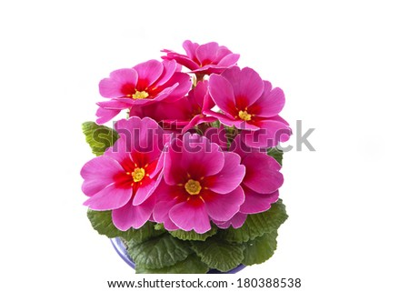 living pink primrose on white background - stock photo