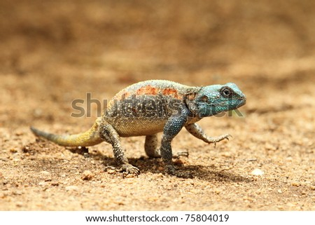 Lizard, colorful, blue head, standing on sand path - stock photo
