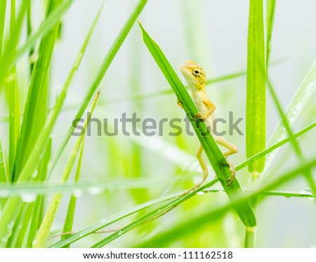 lizard hiding on fresh leaves  green grass in the nature at Thailand - stock photo