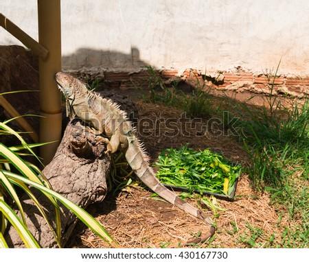 lizard iguana on a branch close-up - stock photo