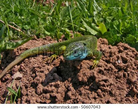 lizard in grass - stock photo