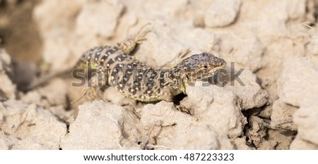 Lizard in the ground outdoors