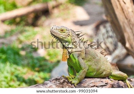 Lizard in the jungle Pogona Vilticeps