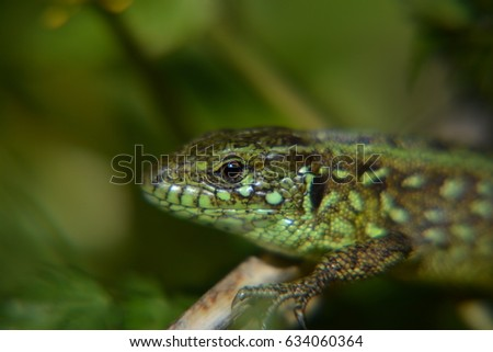 Lizard in the nature