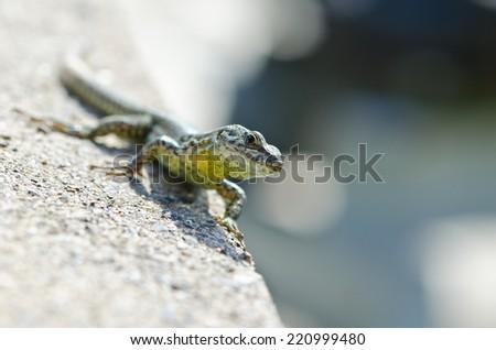 Lizard in wild nature with head in focus - stock photo