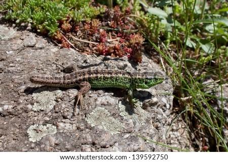 lizard (lacerta agilis) on a rock basking in the sun, the body has ticks (Ixodes Ricinus) - stock photo