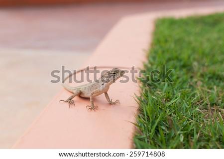 Lizard near grass - stock photo