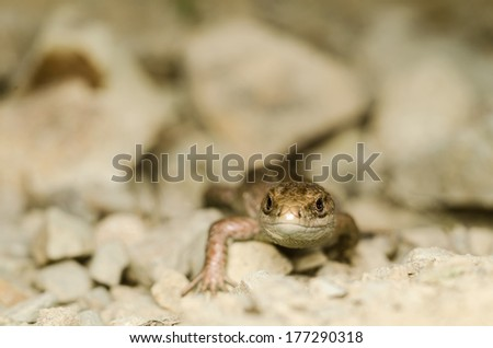 Lizard on stony ground
