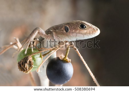 Lizard on the black berries