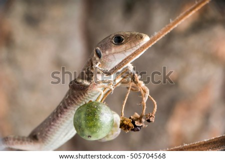 Lizard on the green berries