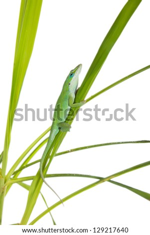 Lizard on the green grass. Caroline or krasnogorly anoles (Anolis carolinensis carolinensis) - stock photo