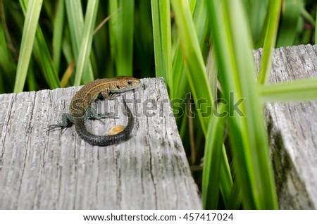 lizard on wooden track (moor, Germany) - stock photo
