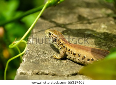 Lizard outdoor
