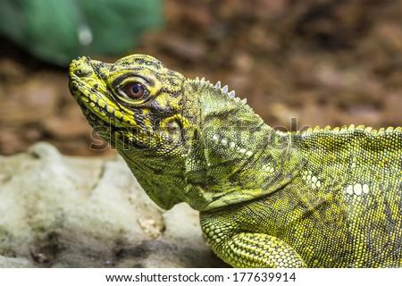 Lizard (Sailfin lizard) close-up portrait with natural background - stock photo