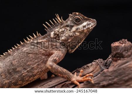 lizard sitting on a dry wood - stock photo