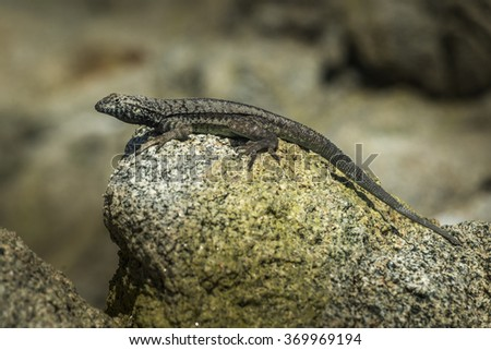 Lizard sunning on a rock with gray stones as a background - stock photo