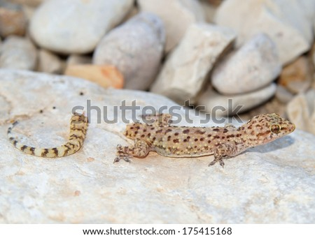Lizard tail loss (broken tail) and regeneration - Mediterranean (House) Gecko shortly after dropping its tail to avoid a predator  - stock photo