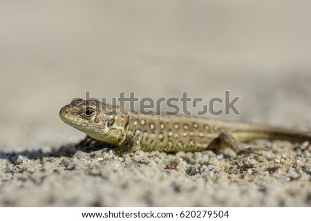 Lizard, wild reptile animal.
