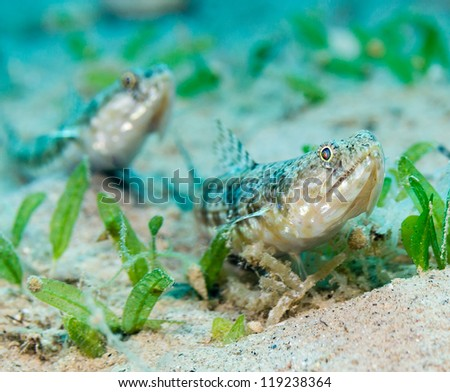 Lizardfish lie on wait on the seabed for their prey