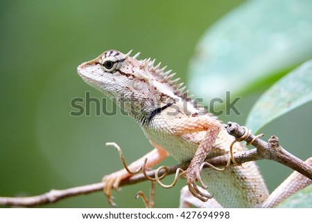Lizards on tree with blurry green leaf background:Close up,select focus with shallow depth of field.