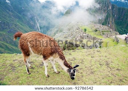 Llama at Lost City of Machu Picchu - Peru - stock photo