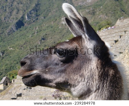 Llama at Machu Picchu, a ancient Inka city in the Andes located in Peru (South America) - stock photo