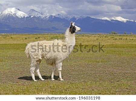 Llama in a mountain landscape - stock photo