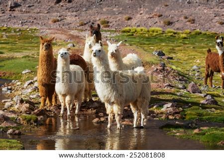 Llama in Argentina - stock photo