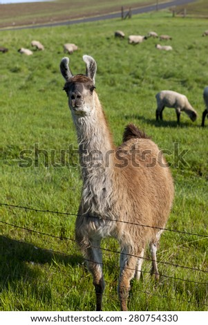 Llama in field with sheep near Potlach, Idaho. - stock photo