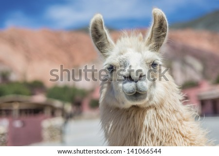 Llama in Purmamarca, near Cerro de los Siete Colores (The Hill of Seven Colors), in the colourful valley of Quebrada de Humahuaca in Jujuy Province, northern Argentina. - stock photo
